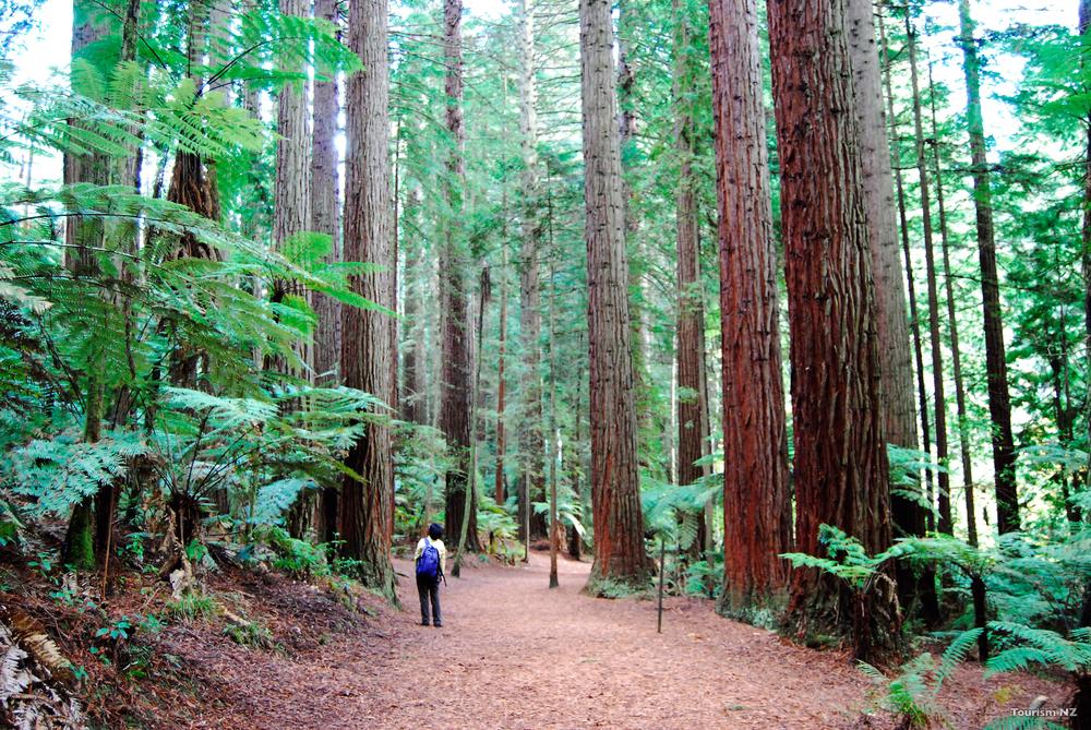 Whakarewarewa Forest, Rotorua, Tourism New Zealand.jpg