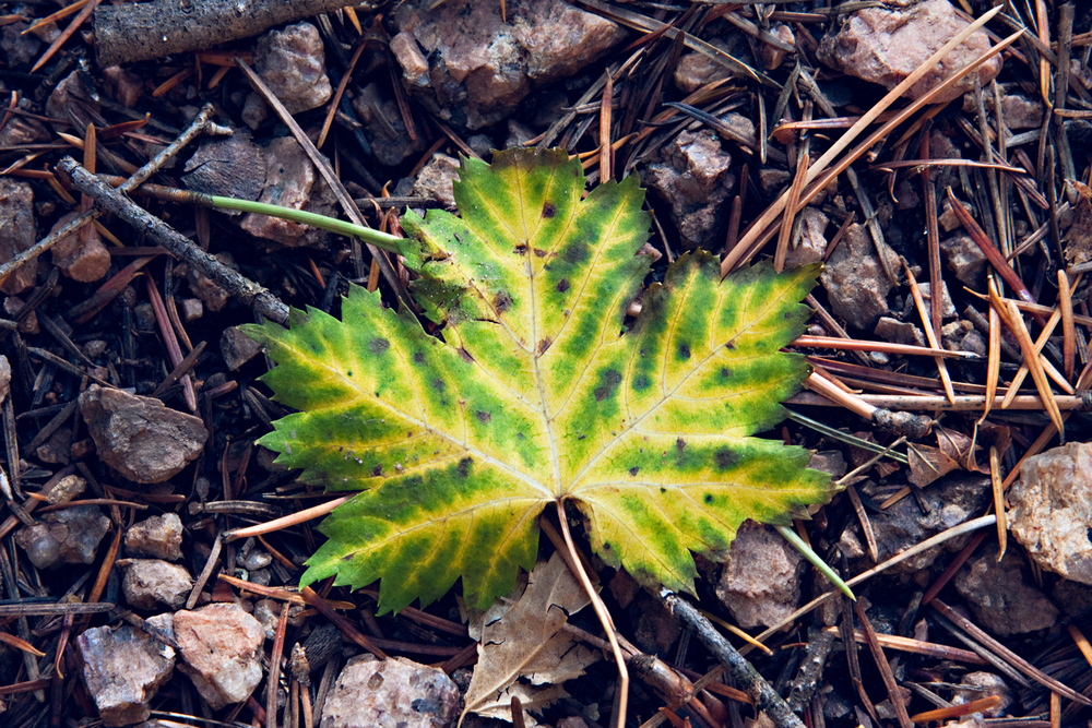 Yellow Green Maple
