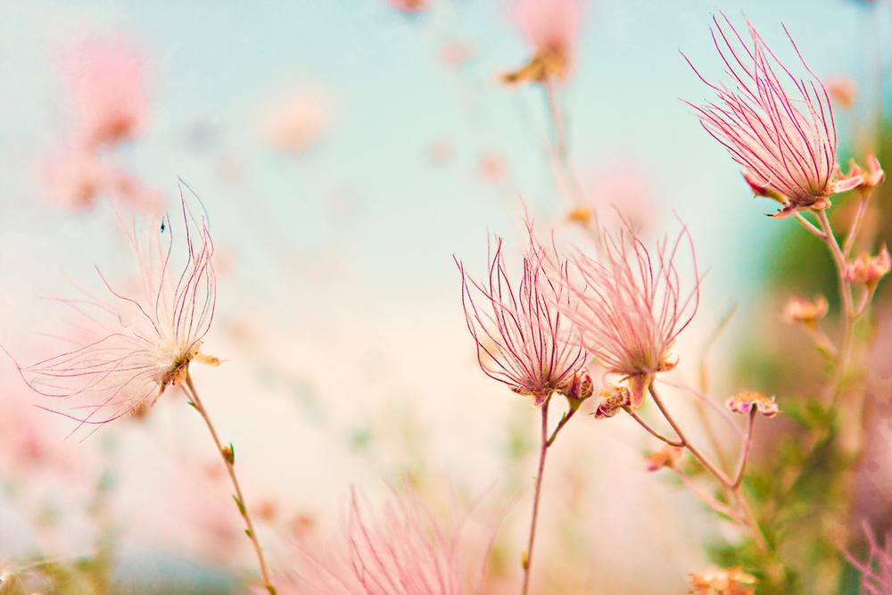 Pink Apache Plume