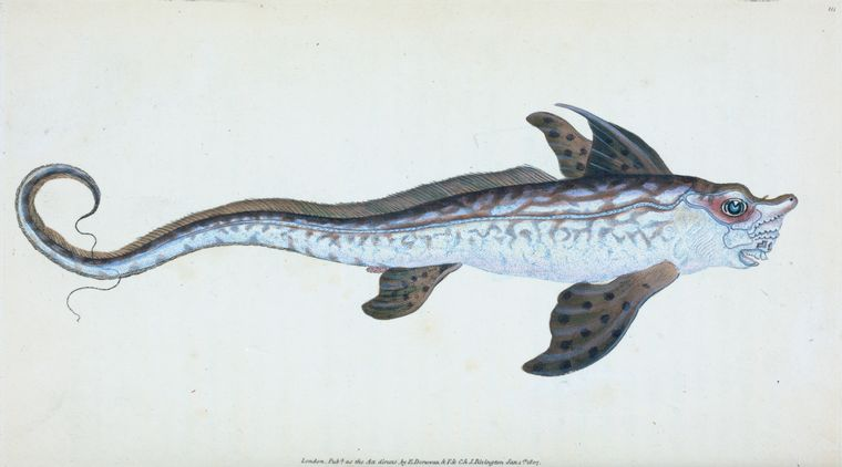 Edward Donovan,  Sea Monster, Chimera monstrosa , 1808,  via NYPL .