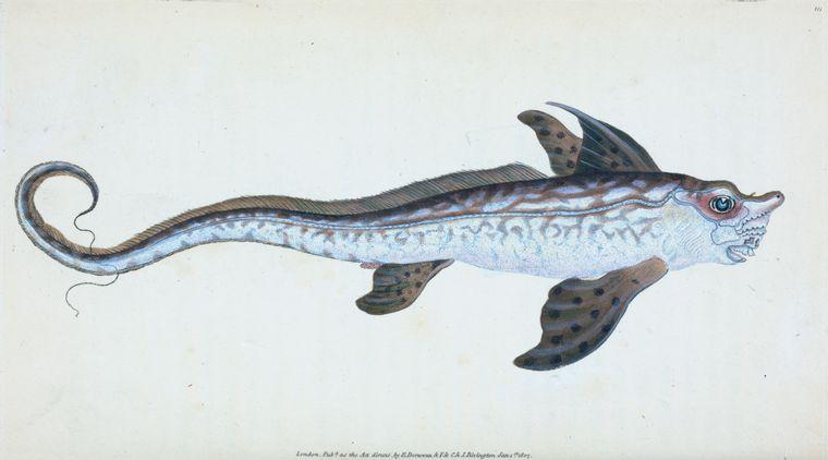 Edward Donovan, Sea Monster,Chimera monstrosa , 1808, via NYPL .