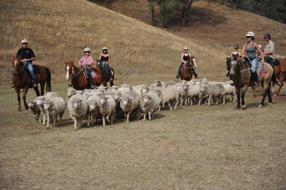 Mustering sheep.