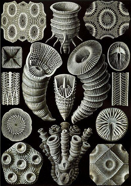 'Tetracorallia' [detail]from  Ernst Haeckel 's   Kunstformen der Natur  , 1904