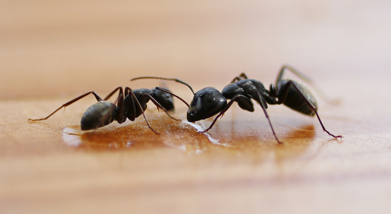 Image result for Ant Control