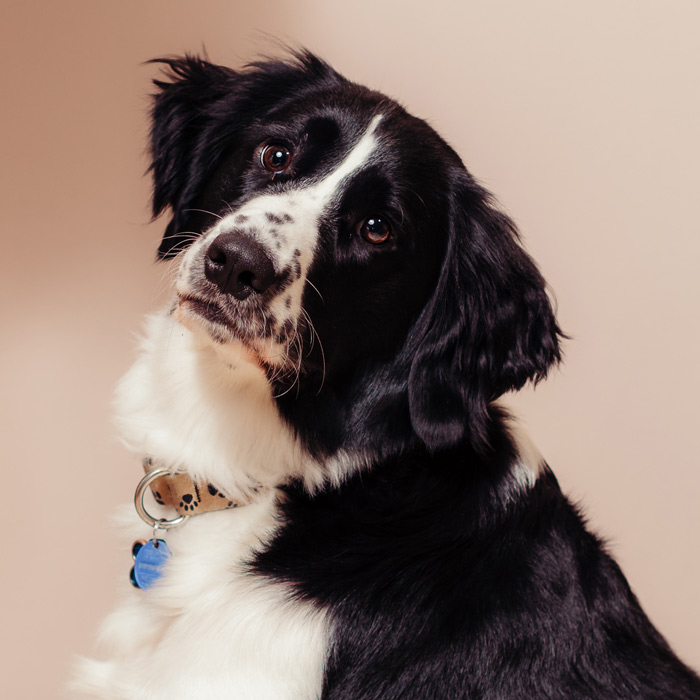 Pet portrait featuring a springer spaniel taken by Samgold Photography in Orlando, FL
