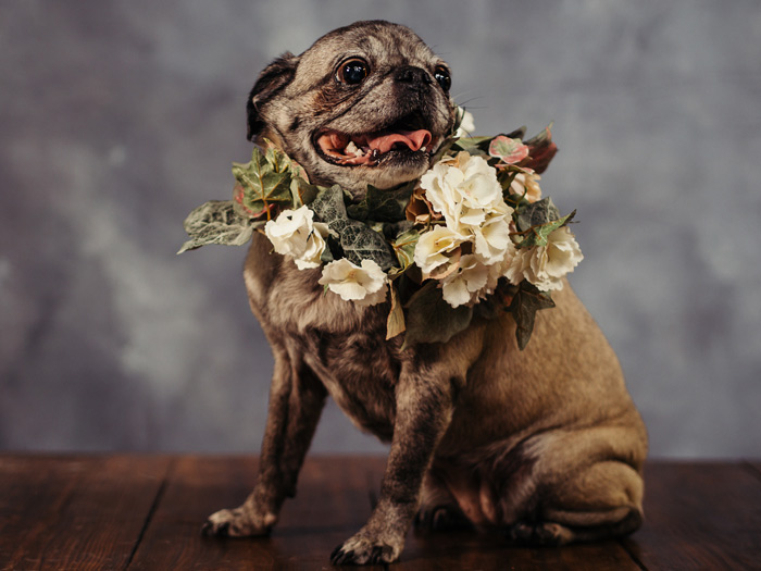 Pet photography featuring a pug in floral bussel in a studio setting- taken by Samgold Photography in Orlando, FL.