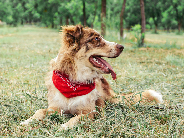 Pet Photography showcasing a puppy with a red bandana around its neck, sitting in the grass-taken by Samgold Photography in Orlando, FL.