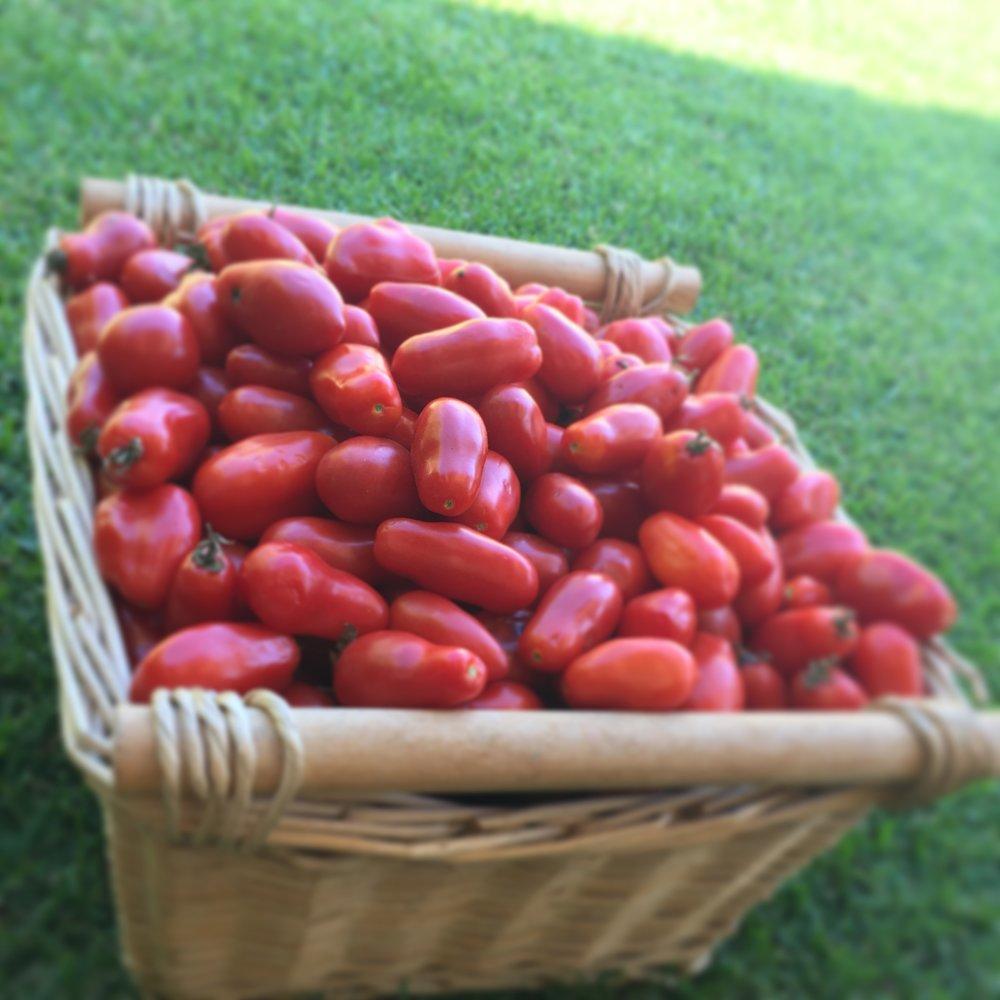 tomatoes in paddock.JPG