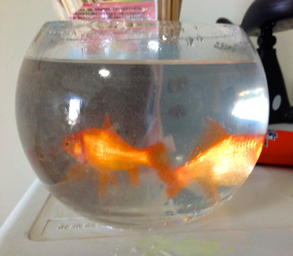Shoutout today goes to my 2 new Chinese goldfish: 'Beni' & 'Hana'