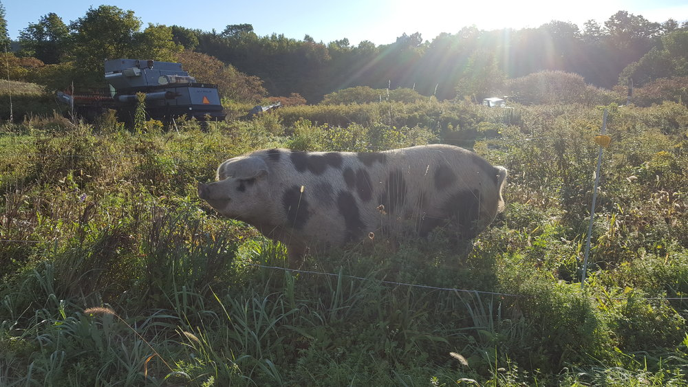 Rocky Road, one of our sows.