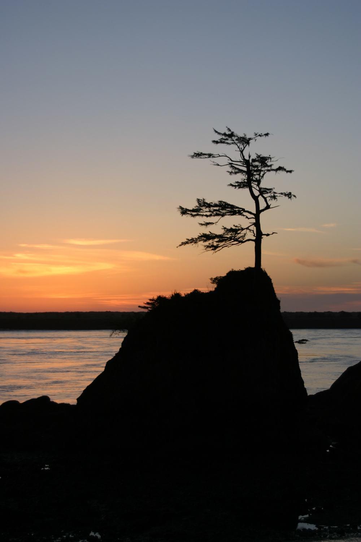 Tillamook Tree