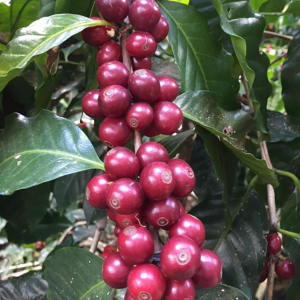 Ripe coffee cherries - photo by Nude Coffee Roasters when visiting suppliers