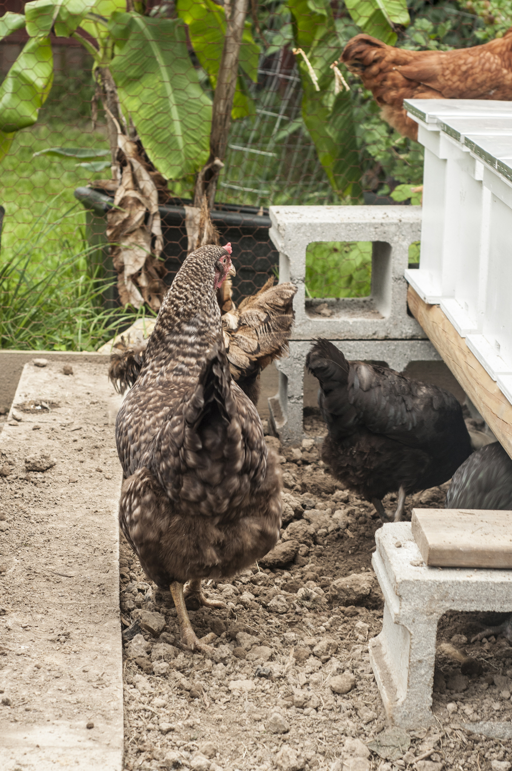 Chickens: fresh eggs and mites control