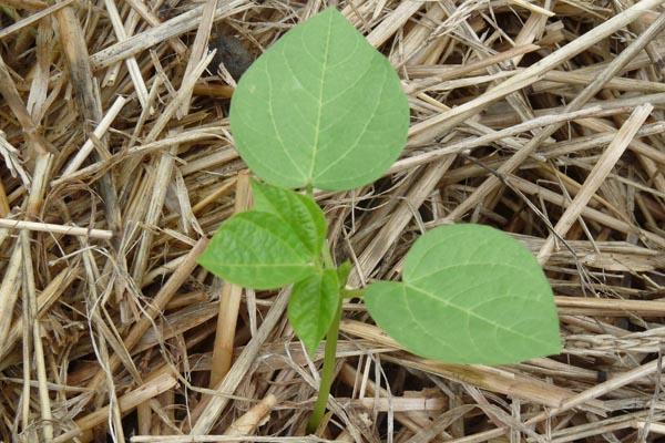 A sprouting bean - Dorrigo