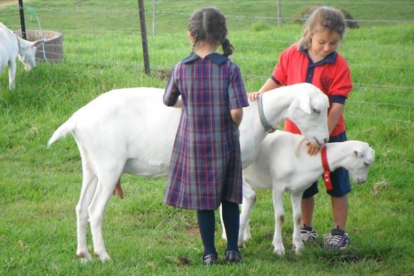Farm goats - trauma healing
