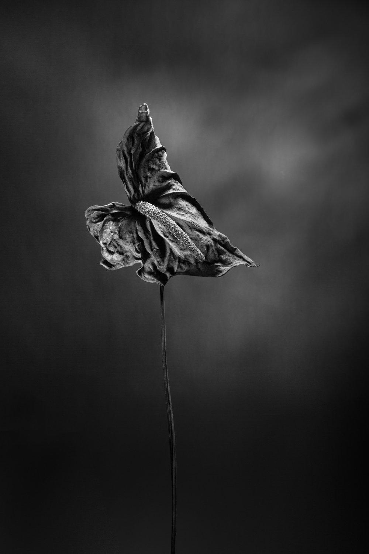 17-08-dried-anthurium-flower-06.jpg