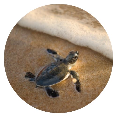 baby turtle - round.png