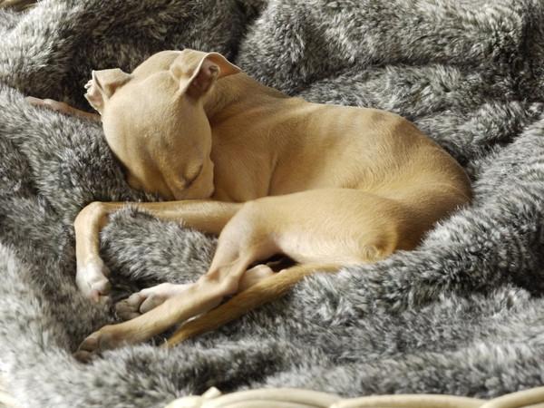 charley-chau-faux-fur-dog-blanket-squirrel_grande.jpg