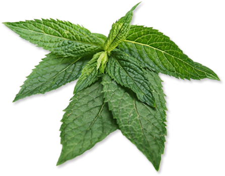 Peppermint   Mentha piperita