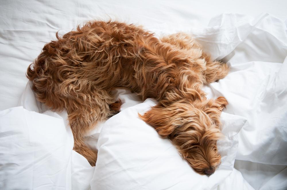 Daisy - studio hound