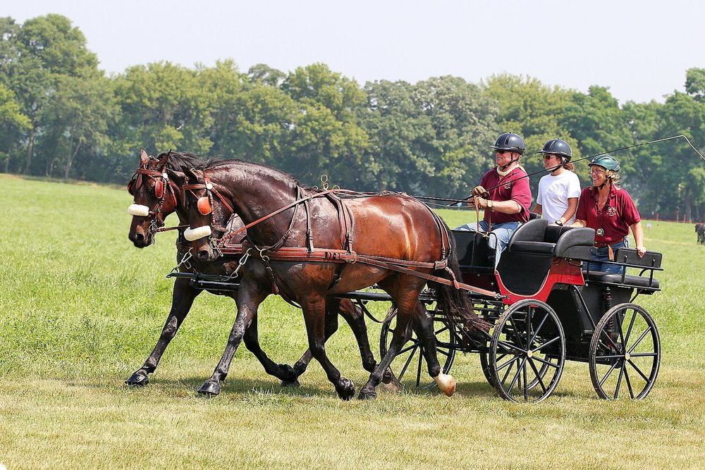 Diva (on the near side) show in harness at a combined driving event with Luna.