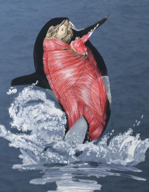 Orcinus orca musculature