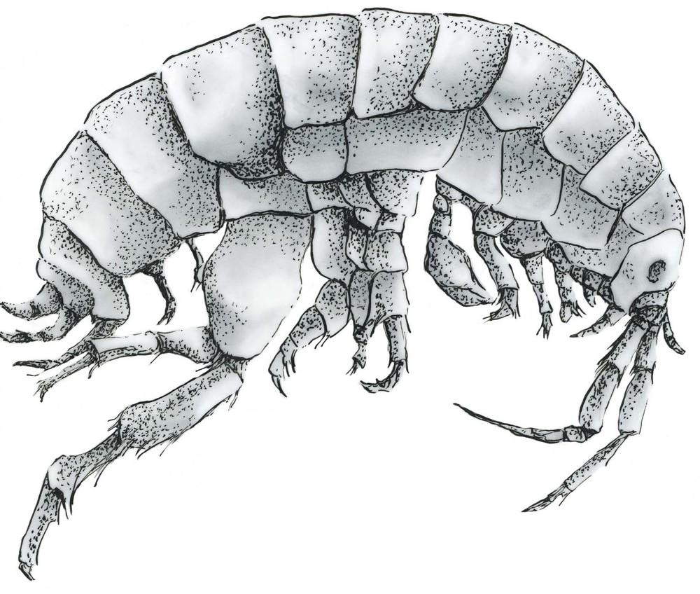Telatrid amphipod