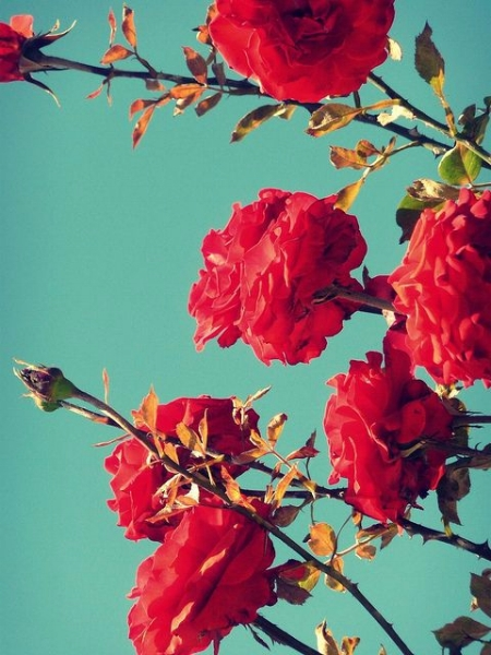 Photo description: Red roses proudly poke into a green/blue sky, all in full bloom but one.
