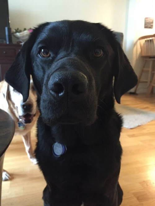 Photo Description: Ferdie, a black Labrador, stares directly into the camera. Directly behind him to the picture left is Kody, a Yellow Labrador, come into the frame. Both dogs are sitting on a hard wood floor living room.