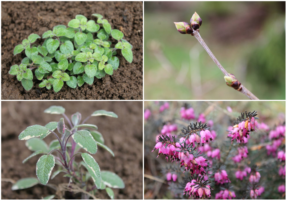 Top Row, Left to Right: Baby oregano and lilac buds. Bottom Row, Left to Right: Fresh sage tips and violet heather flowers.