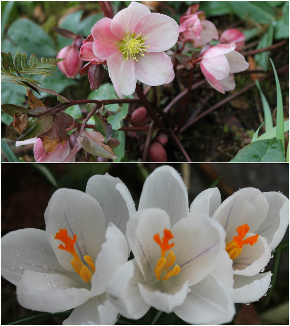 Dusty pink helleborus and white crocus in bloom.