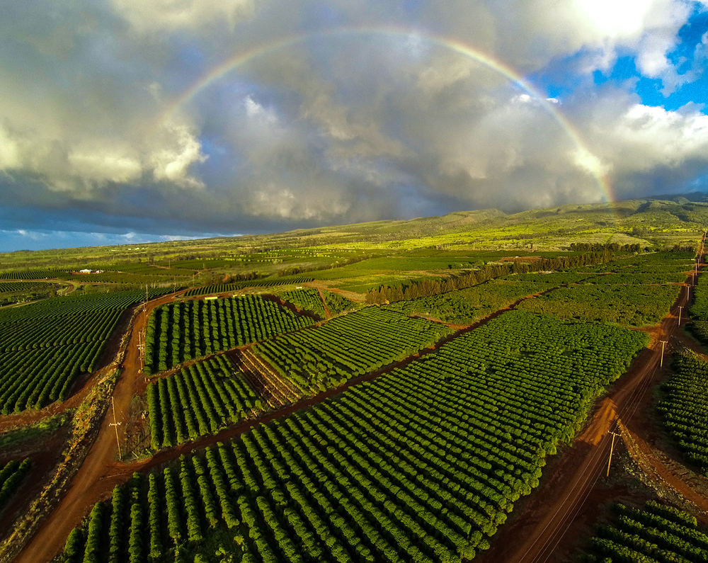 MauiGrown Coffee's four coffee varieties are estate grown and harvested at the Ka`anapali Coffee Farms, which is comprised of 500 acres of coffee trees.  Photo by: Tony Lathrop of Paradise Aerial Photography.
