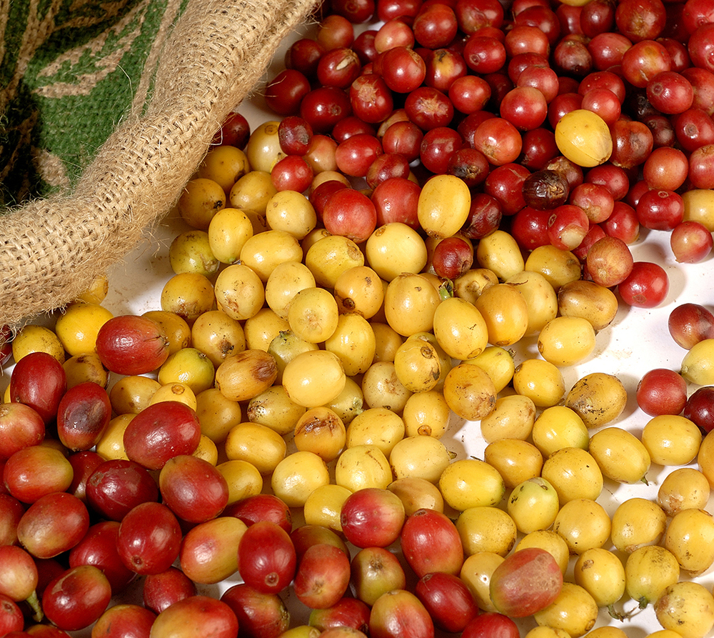 MauiGrown Coffee's exceptional coffee varieties (pictured bottom to top): Red Catuai, Maui Mokka  ™  , Yellow Caturra, Typica.