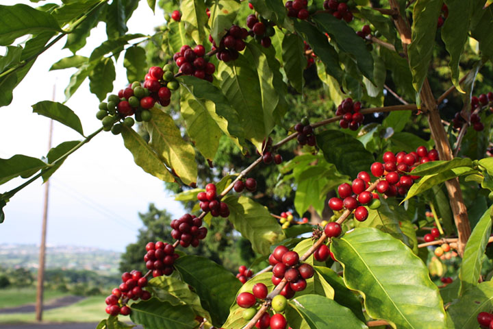 In the mid-1800, Kauai was the first Hawaiian island where there was a real effort to produce commercial coffee.