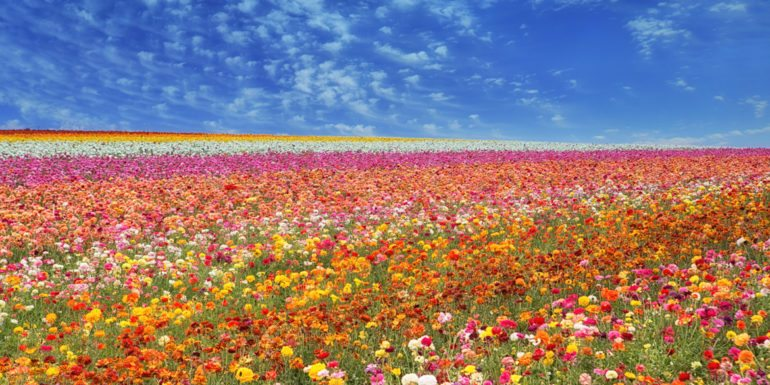 SanDiego-Carlsbad-Flower-Fields-770x385.jpg