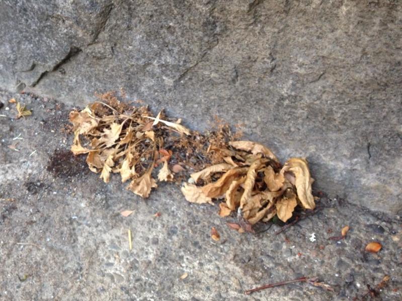 dead dandelions1.jpg