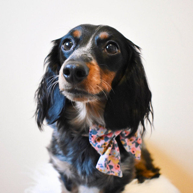 Abby   says:   I absolutely love the bows I purchased! They are so cute and well made. I've never seen sailor bows before for dogs, so they are very unique. Super fast shipping and great customer service. I would definitely purchase more!  Worn:  XS Rifle Paper Co / Violet Floral Sailor Bow