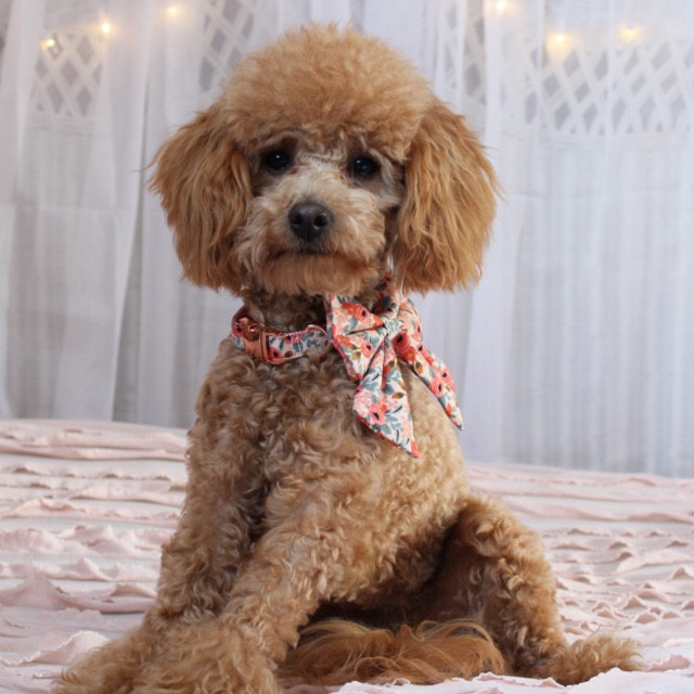 Summer   says:   Beautiful well made! My pups look stunning in them! Would definitely order again!!! And will highly recommend!  Worn:  S Rifle Paper Co / Peach Floral Sailor Bow