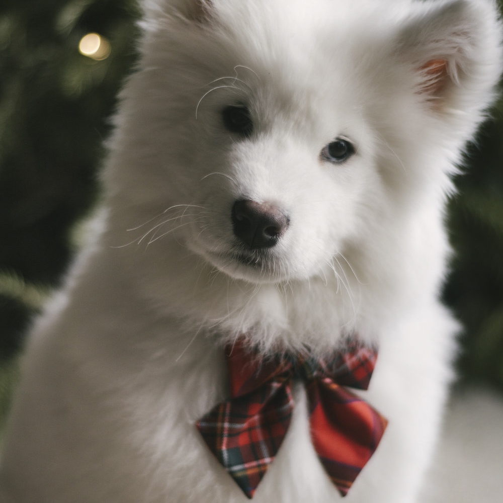 Megan   says:   Absolutely adorable, perfectly made and the perfect size for my pup! I love how I can put it on different collars as my dog grows. It came quickly, and am pleased to have it for Christmas!! Also bought the Ecru & Cream Checkered Bow Tie, and it is cute as well!  Worn:  S Red / Green Tartan Sailor Bow