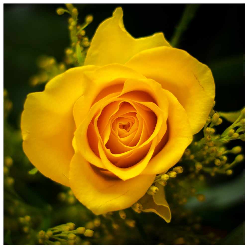 yellow-rose_8530108383_o.jpg