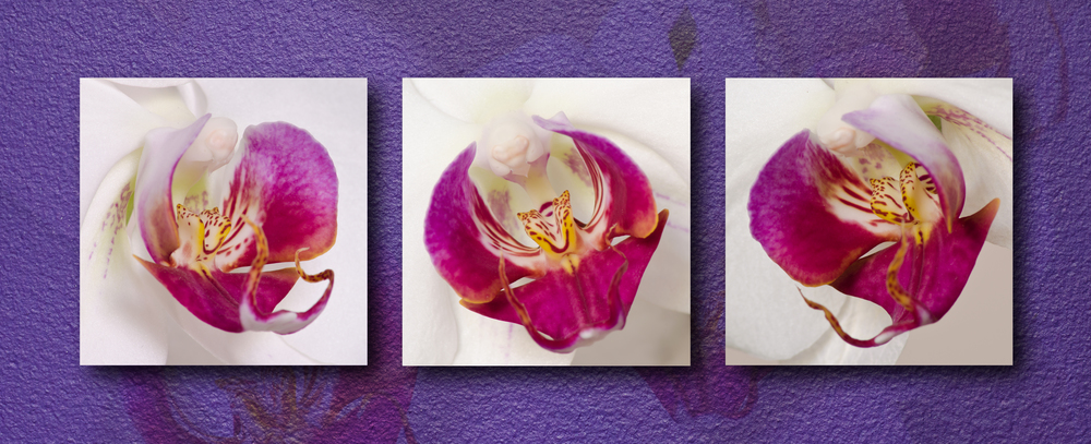 Phalaenopsis Orchid Triptych