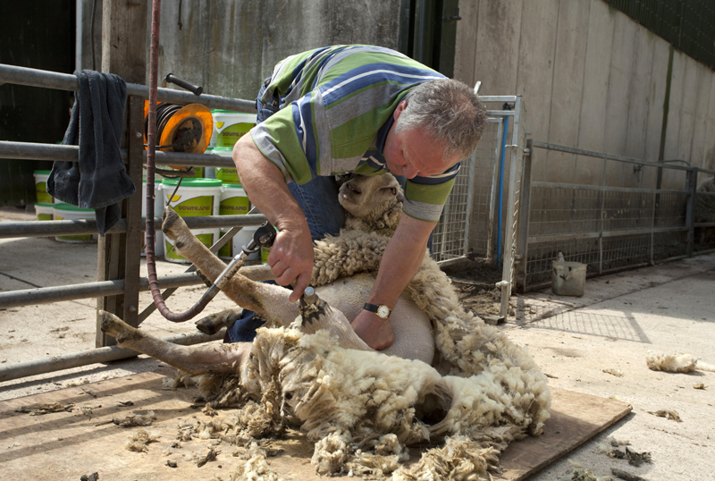 Sheep shearing, Westons Cider, Much Marcle, Herefordshire