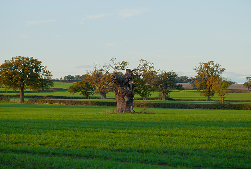 Old Oak tree, Worcs.