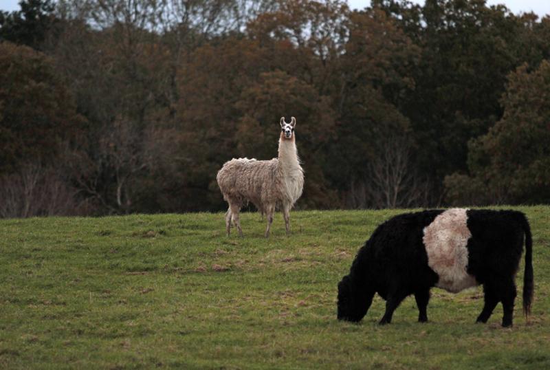 Llamas, Pershore, Worcs.