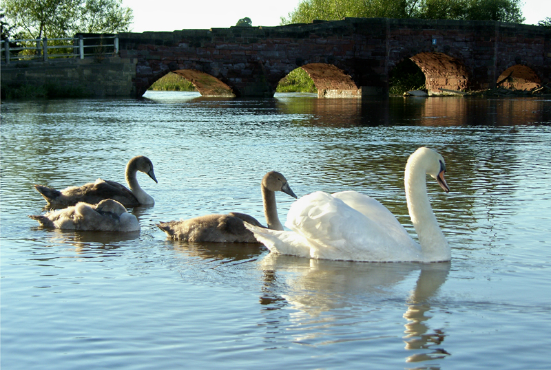 Swans at Eckington Bridge, Worcs.