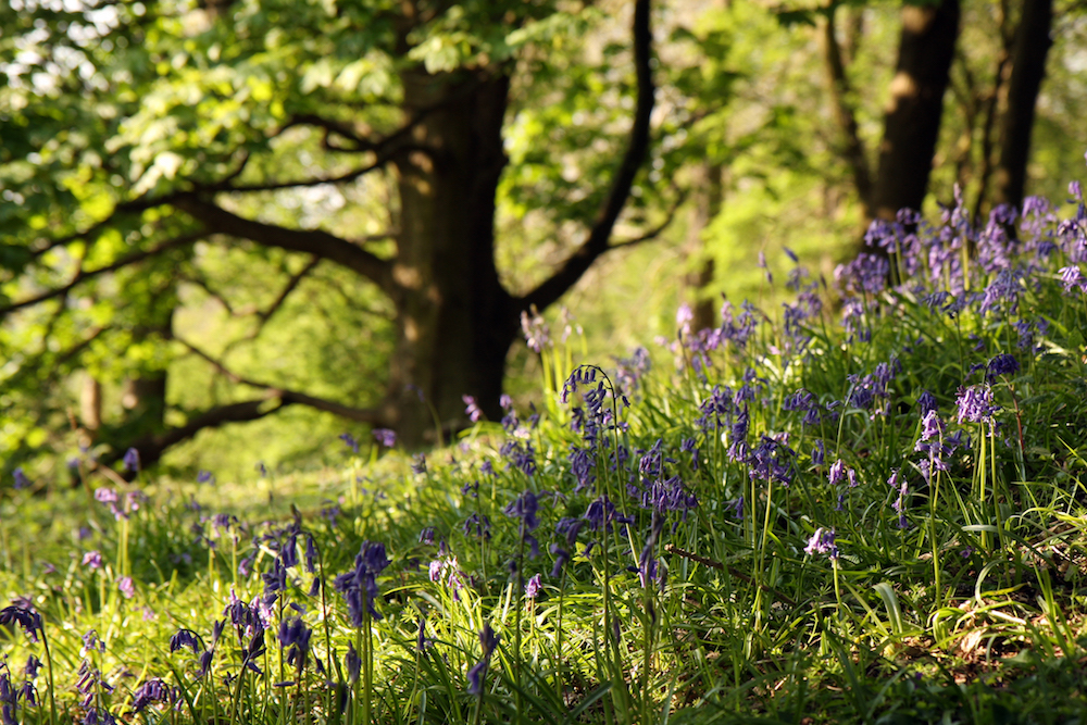 Bluebells on the Malvern Hills