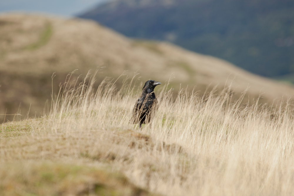 Crow on the Malvern Hills