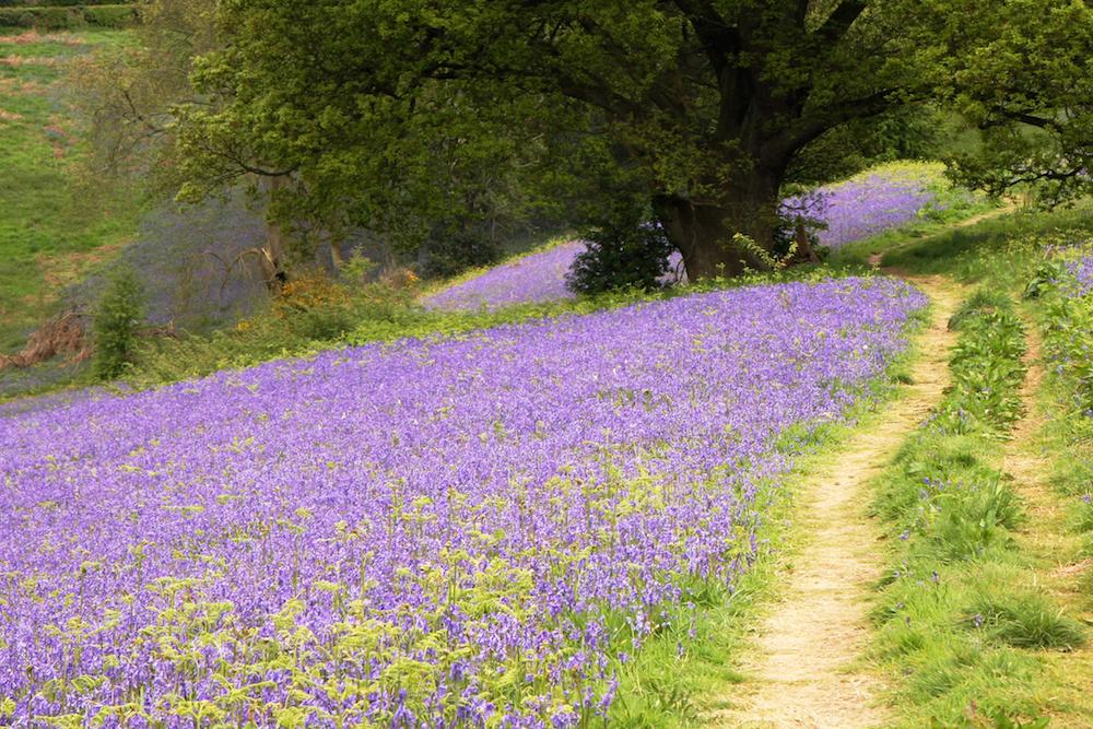 Bluebell carpet, Jubilee Drive, Malvern Hills