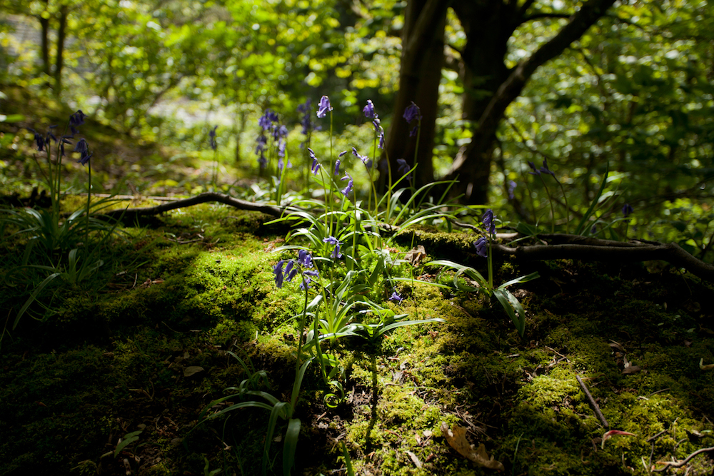 Bluebells in dappled sunlight Malvern Hills