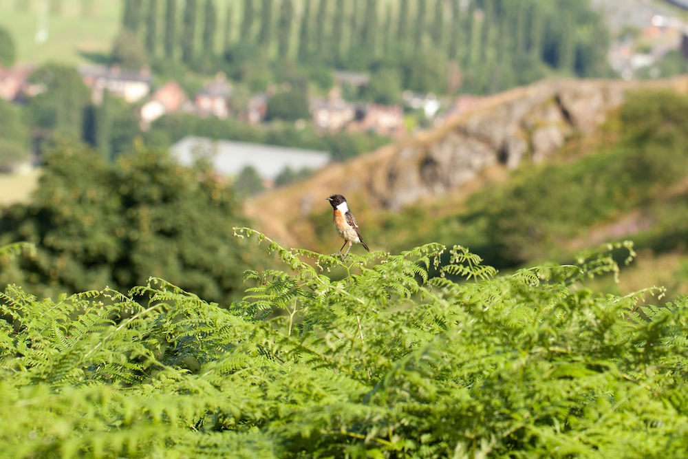 Stonechat on the Malvern Hills